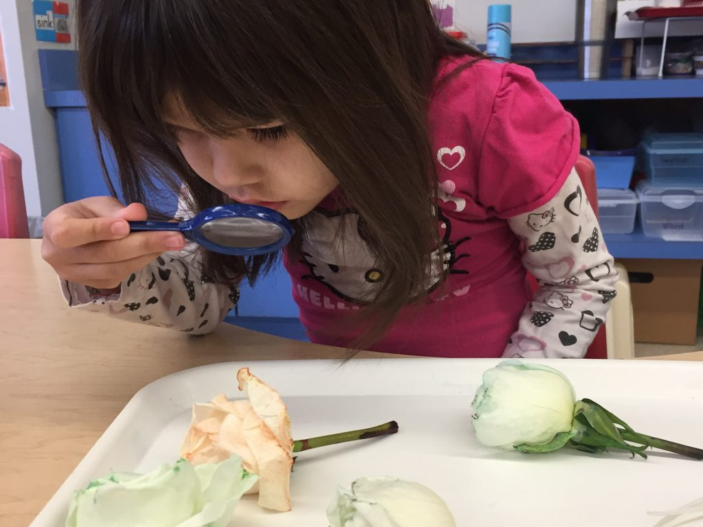 Preschool student examining colored roses with a magnifying glass